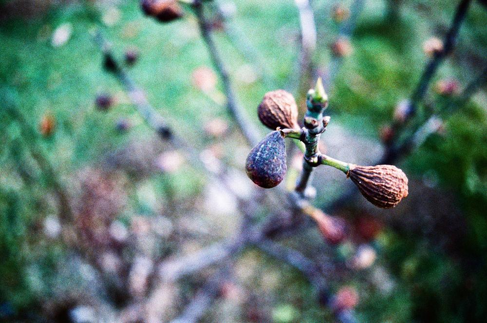 Busch mit Früchten